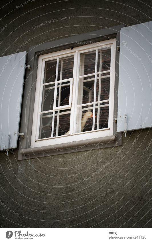 ente ente ente ente Haus Mauer Wand Fassade Fenster dunkel Gans skurril obskur seltsam Vignettierung Fensterscheibe Fensterladen Fensterrahmen Fensterblick