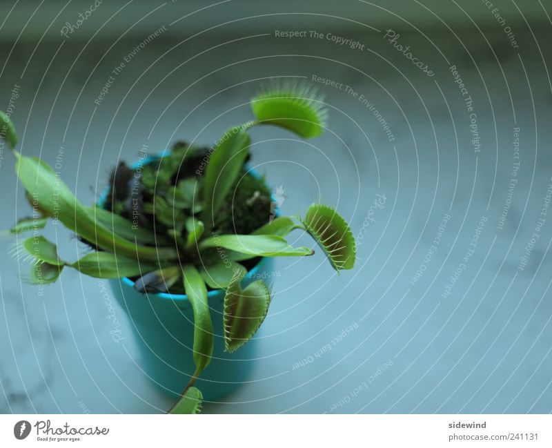 Fastenzeit Pflanze Blatt Grünpflanze Topfpflanze exotisch Venusfliegenfalle einzigartig natürlich stachelig grün Optimismus Leben Appetit & Hunger gefräßig