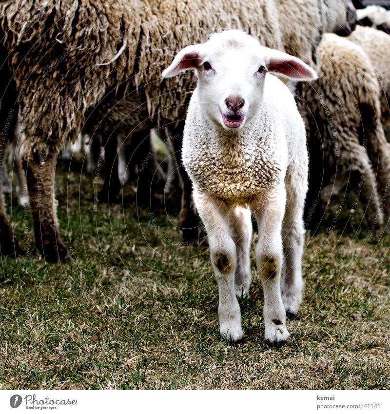 So klein und schon dreckig Natur Gras Wiese Tier Nutztier Tiergesicht Fell Schaf Lamm 1 Herde schreien Neugier niedlich weiß Interesse blöken Farbfoto