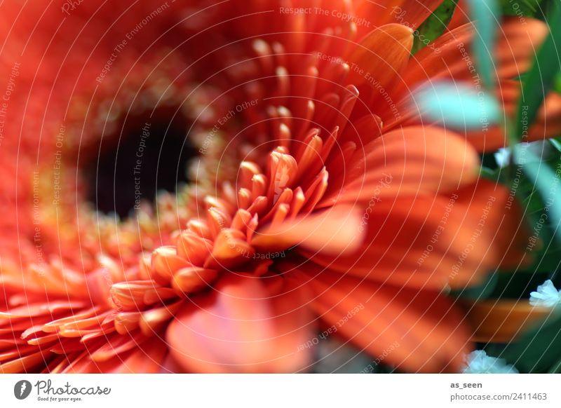 Orange Gerbera Stil Design exotisch Leben Garten Feste & Feiern Umwelt Natur Pflanze Frühling Sommer Blume Blatt Blüte Blütenblatt Blühend ästhetisch groß nah