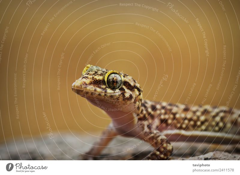 Porträt eines neugierigen mediterranen Hausgeckos exotisch schön Natur Tier Haustier klein natürlich niedlich wild braun grau Farbe Halbfinger-Gecko Turcicus