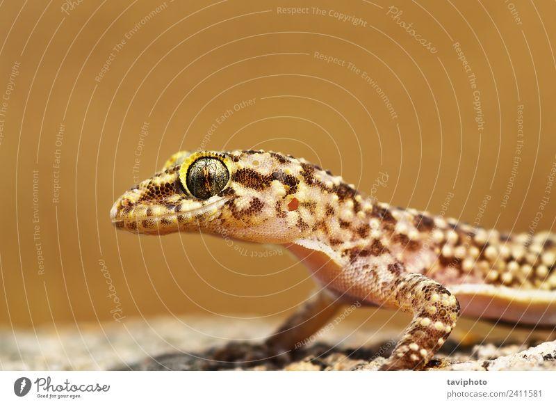 Portrait des mediterranen Hausgeckos schön Haut Gesicht Natur Tier Haustier natürlich niedlich wild braun Farbe Gecko Reptil Lizard Kopf Auge Halbfinger-Gecko