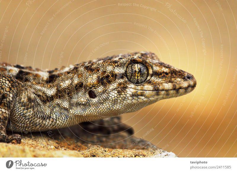 türkisches Gecko-Makroporträt exotisch schön Haut Gesicht Haus Natur Tier Haustier klein natürlich niedlich wild braun grau Farbe Halbfinger-Gecko Turcicus