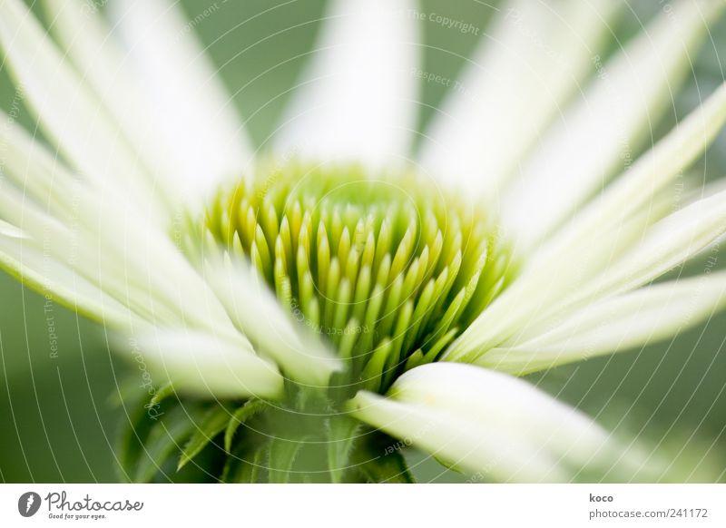 Sommerblume Natur weiß grün schön Pflanze Farbe gelb Leben Frühling Blüte elegant Wachstum ästhetisch Spitze Blühend