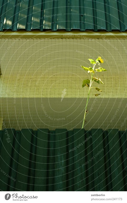 Sonnenblume Natur Pflanze Sommer Einsamkeit Blatt Haus Wand Architektur Blüte Gebäude Mauer trist Klima Hoffnung Bauwerk Balkon