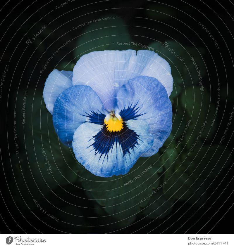 Stiefmutter Umwelt Natur Landschaft Pflanze Blume Garten Park Blühend Wachstum Blüte Stiefmütterchen Stiefmütterchenblüte Detailaufnahme Menschenleer