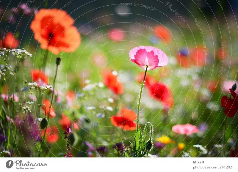 Jetzt wirds nochmal bunt Natur schön Blume Pflanze Sommer Blatt Wiese Blüte Gras Frühling Garten Wachstum Blühend Duft Mohn positiv