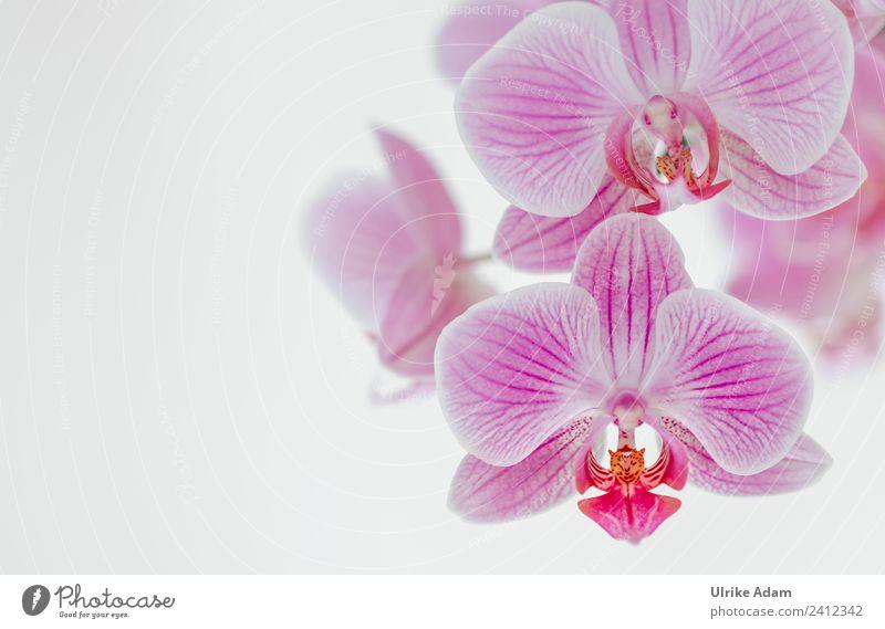 Rosa Orchideen Natur Sommer Pflanze Blume Erholung ruhig Winter Leben Herbst Blüte Frühling Feste & Feiern rosa Zufriedenheit Romantik Blühend