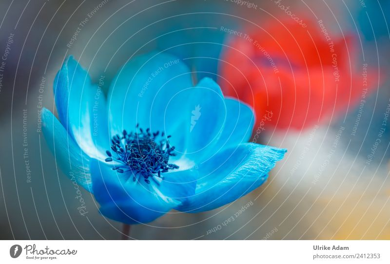 Blaue Anemonenblüte Natur Sommer blau Pflanze Blume rot Erholung ruhig Frühling Blüte Garten Park Dekoration & Verzierung elegant Geburtstag Blühend