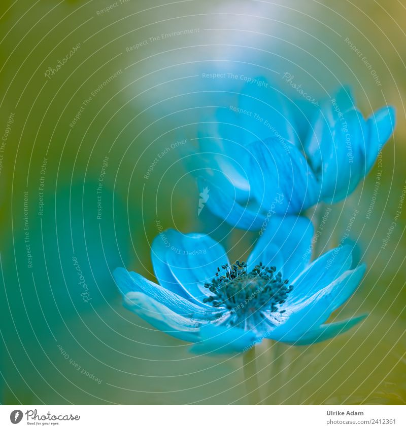 Zart in Blau - Anemone Natur Sommer Pflanze schön Blume Frühling Blüte natürlich Garten außergewöhnlich Park Dekoration & Verzierung Geburtstag Blühend Romantik