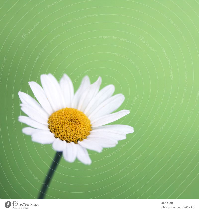 ...liebt mich? Natur Pflanze Blume Blatt Blüte Blütenblatt Gänseblümchen Blühend schön gelb grün weiß Farbfoto Innenaufnahme Nahaufnahme Detailaufnahme