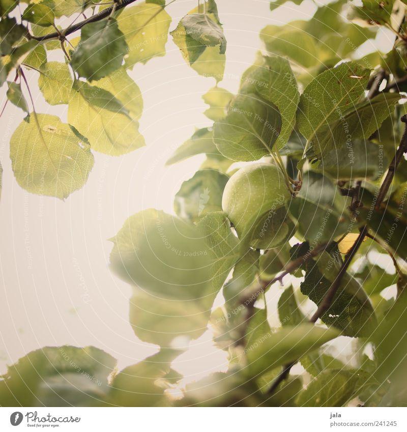 apfelbaum Natur Baum grün Pflanze Gesundheit Frucht Apfel lecker Grünpflanze Nutzpflanze