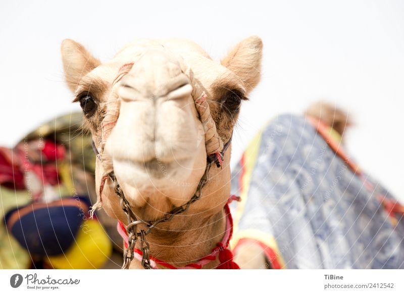 Kamelblick 1 Tier Ferien & Urlaub & Reisen Wahrheit Abenteuer Kamelrennen Dubai Porträt Reisefotografie Farbfoto Außenaufnahme Tag Schwache Tiefenschärfe