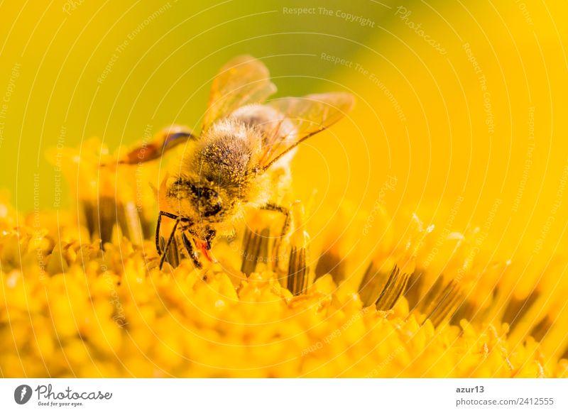 Makro Honig Biene sammelt gelbe Pollen auf Sonnenblume in Natur Sommer Pflanze schön Blume Tier Freude Wärme Umwelt Herbst Frühling Blüte Wiese Glück