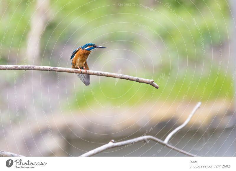 Eisvogel Natur blau Farbe schön grün Wasser weiß Tier Umwelt Hintergrundbild klein Vogel wild Park Wildtier Feder