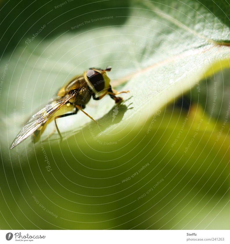 kleine Schwebfliege in einem grünen Garten Fliege Jungtier Facettenauge Insekt Flügel Fressen nah Sommergefühl Lichtstimmung sommerlich Nahrungssuche lichtvoll