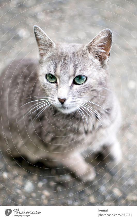 Biest Tier Haustier Katze Tiergesicht Fell Schnurrhaar Ohr Auge 1 Tierjunges Blick sitzen schön Neugier niedlich grau grün Tierliebe Farbfoto Gedeckte Farben