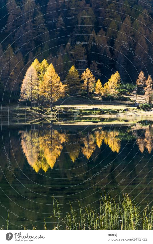 Herbstliche Spiegelung Leben harmonisch Natur Schönes Wetter Wildpflanze Lärche Wald See Duisitzkarsee leuchten Traurigkeit Trauer Ende träumen Vergänglichkeit