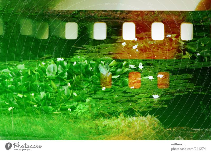 analoge fotografie II Natur Pflanze Seerosenteich Wiese Teich grün fehlerhaft Filmperforation Kratzer Seerosenblatt Lotos Lotosblatt Farbfoto Außenaufnahme