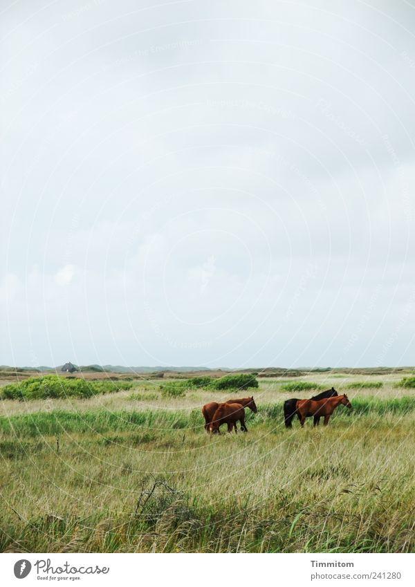 Freunde II Ferien & Urlaub & Reisen Umwelt Natur Landschaft Pflanze Tier Wolken Wiese Nordsee Nymindegab Dänemark Menschenleer Pferd 4 Tiergruppe frei groß grün