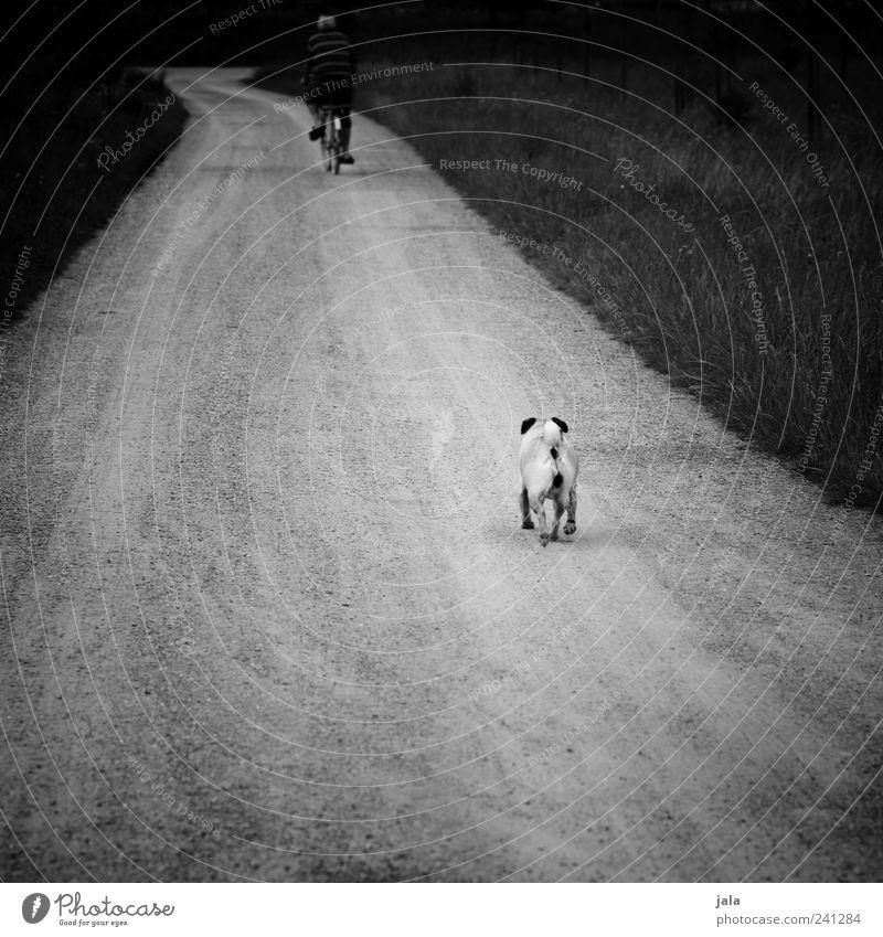 warte, mensch! Mensch maskulin Mann Erwachsene 1 Landschaft Pflanze Gras Wege & Pfade Tier Haustier Hund fahren laufen Mops Fahrrad Schwarzweißfoto