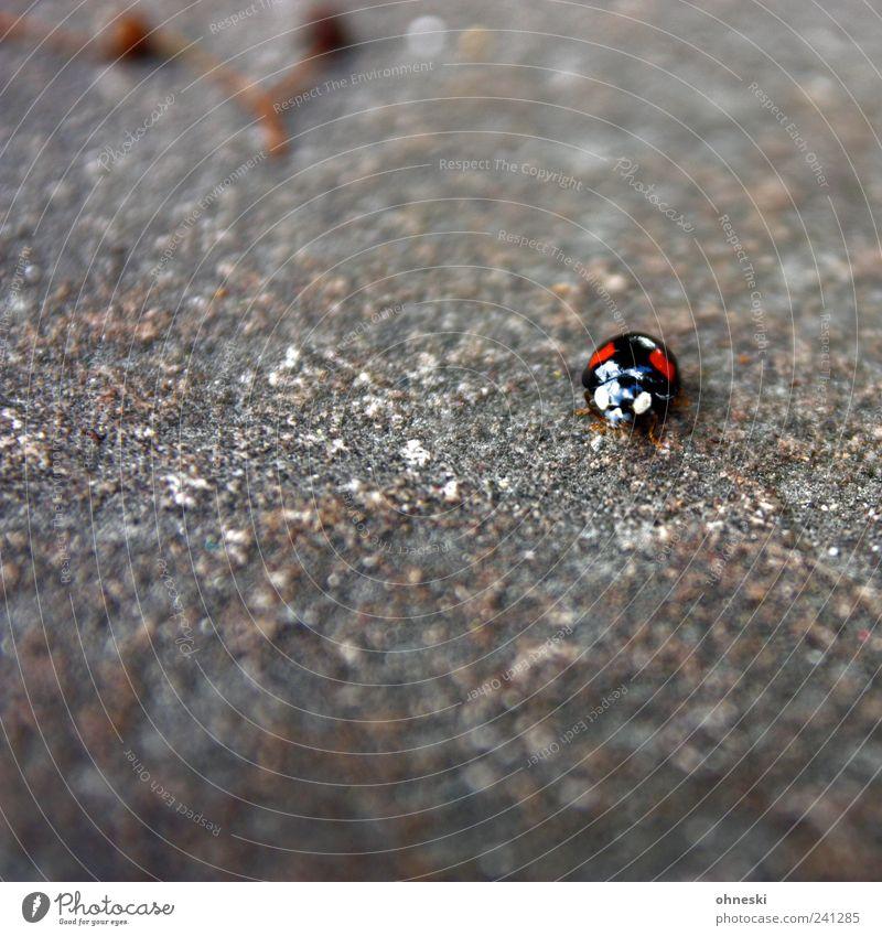 Schau mir in die Augen Tier Wildtier Käfer Tiergesicht Marienkäfer 1 Stein klein rot schwarz Blick hypnotisch hypnotisieren Farbfoto Außenaufnahme