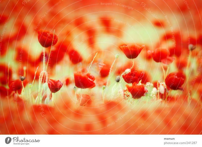 Rotes Meer Natur Frühling Sommer Pflanze Blume Blüte Nutzpflanze Mohn Mohnblüte Mohnfeld ästhetisch authentisch natürlich schön rot Farbfoto Außenaufnahme