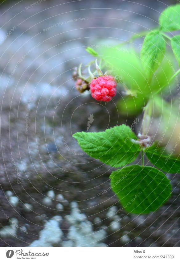 Himbeerchen Lebensmittel Frucht Ernährung Garten Natur Sommer Pflanze Sträucher Blatt Wachstum klein lecker süß rosa Himbeeren Beeren Waldfrucht Farbfoto