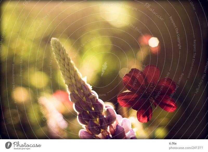 Lupine mit Schokolade Frühling Sommer Schönes Wetter Blume Schokoladenblume Garten Blühend Duft Wachstum schön grün violett rot Farbfoto Außenaufnahme