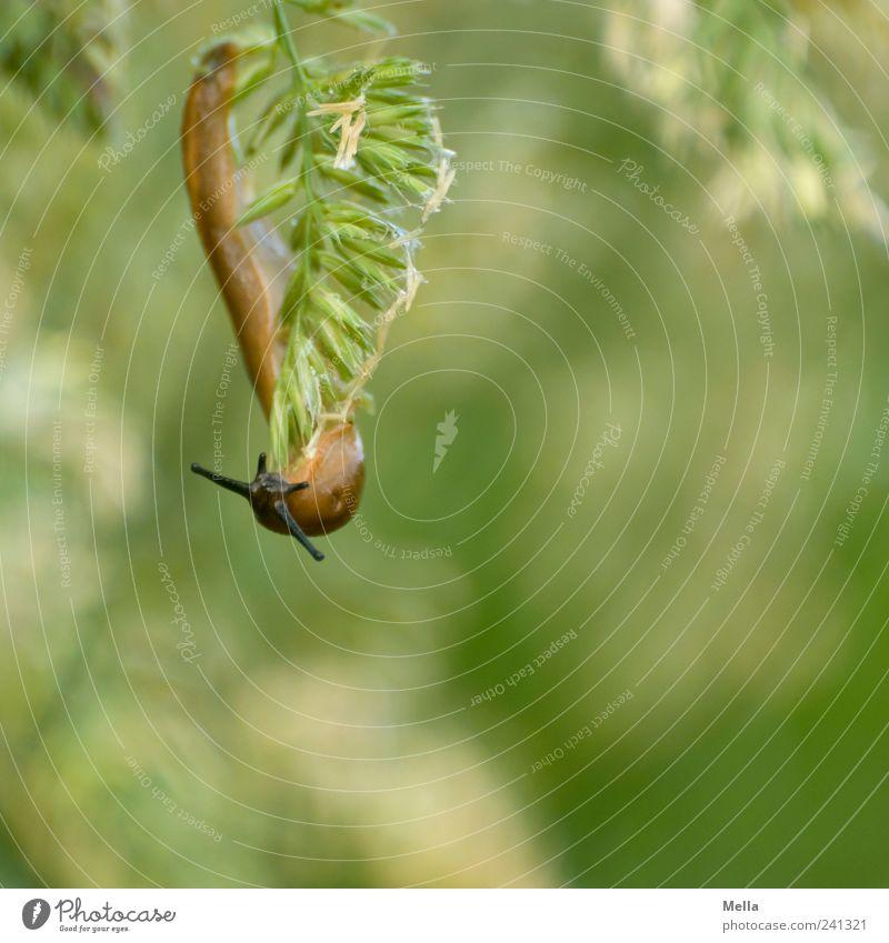 Haps Natur grün Pflanze Tier Umwelt Wiese Gras natürlich hängen Fressen Schnecke Ekel Grünpflanze schleimig Nacktschnecken