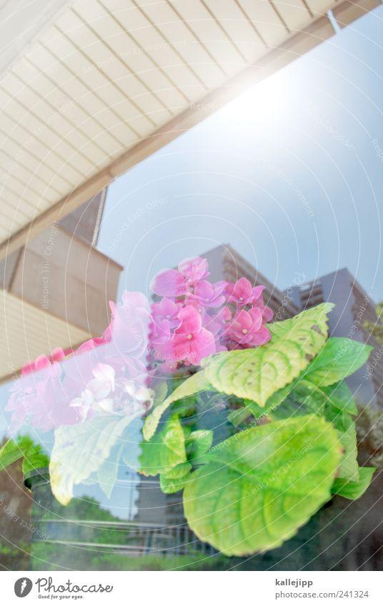 gewächs-haus Blume Pflanze Blatt Haus Blüte Hochhaus Blühend Fensterscheibe Primelgewächse Kissen-Primel