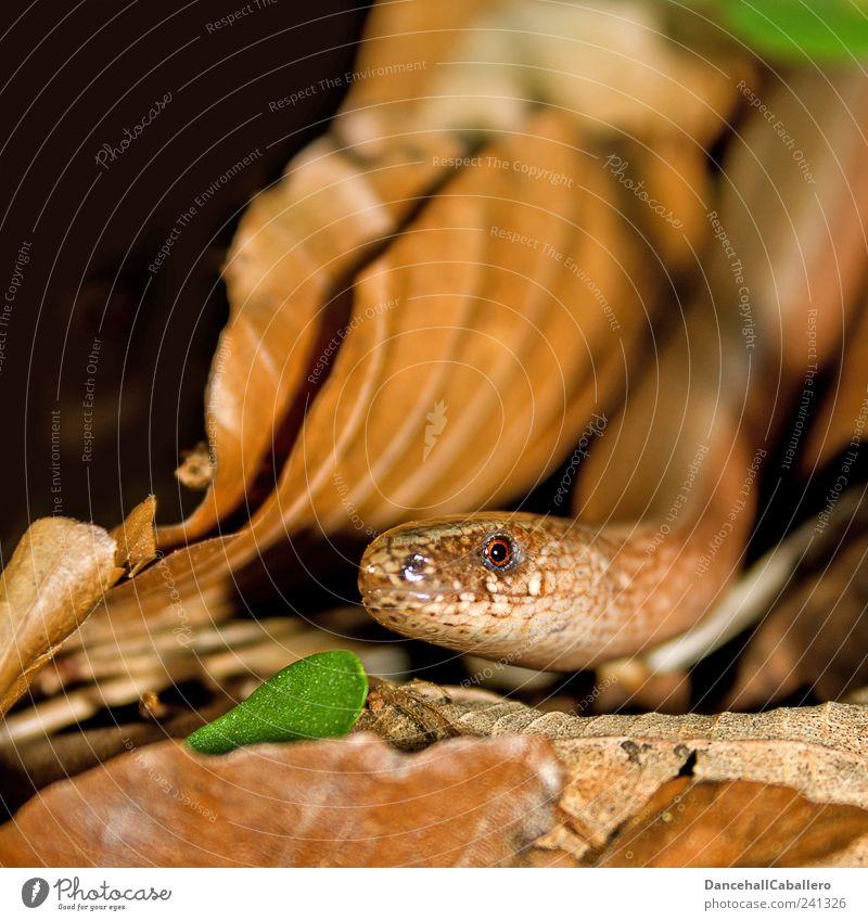 Verführung Umwelt Tier Erde Garten Schlange Echsen Blindschleiche Reptil Auge Kopf 1 beobachten Blick bedrohlich Neugier braun grün schwarz Stimmung Natur
