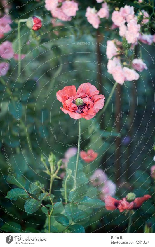 Anfang und Ende Sommer Rose Blüte Wildpflanze Mohn Mohnblüte Garten Blühend verblüht ästhetisch authentisch natürlich grün rosa rot Stimmung Romantik Beginn