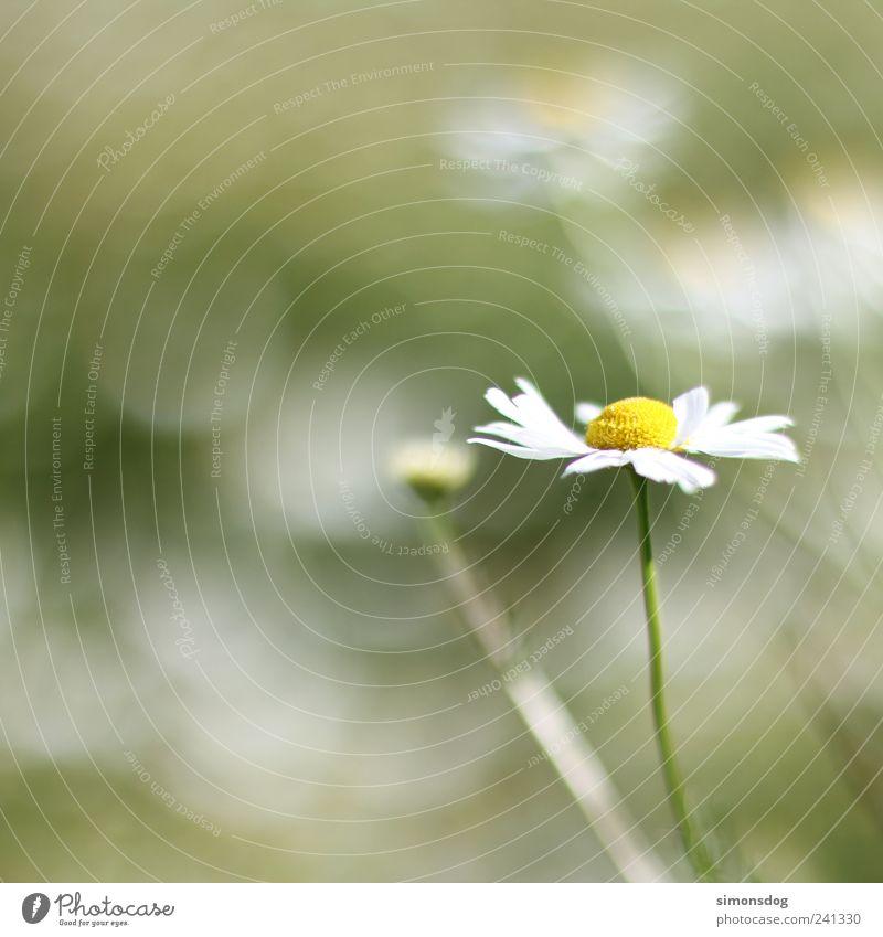 \blume im wind/ Natur grün Pflanze Sommer Blume Einsamkeit gelb Wiese Bewegung Gras Blüte hell Zufriedenheit Wind Klima elegant