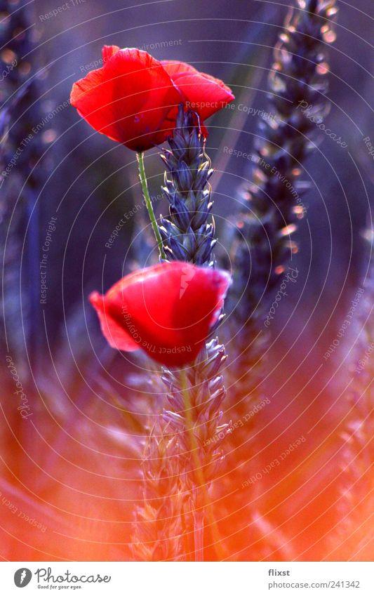 kalt und warm Sommer Blume Zufriedenheit Sträucher Warmherzigkeit Schönes Wetter Getreide Mohn Lebensfreude Vorfreude Optimismus Frühlingsgefühle Mohnblüte