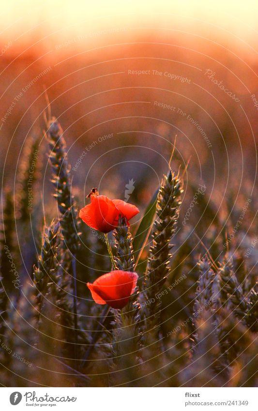Relaxen in der Abendsonne Sommer Schönes Wetter Blume Sträucher Biene 1 Tier Glück Lebensfreude Frühlingsgefühle Optimismus Romantik Mohnblüte Farbfoto