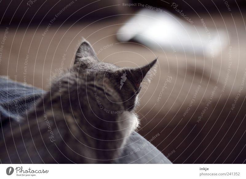 Anschleichübung Haustier Katze 1 Tier Tierjunges beobachten Jagd liegen machen Blick warten Neugier Spitze braun Gefühle Stimmung Wachsamkeit Ausdauer Interesse