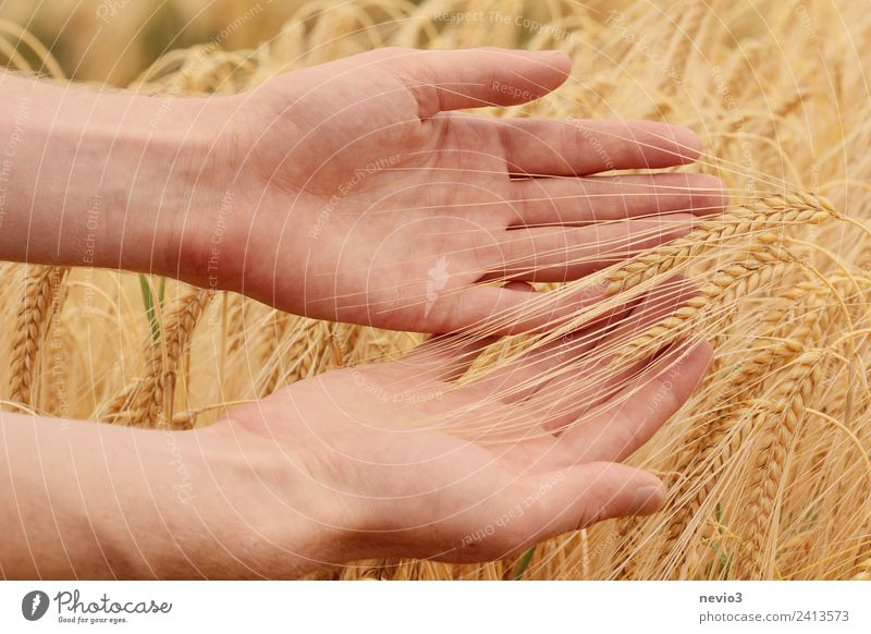 Hände streifen durch Gerstenfeld Umwelt Landschaft Gras Nutzpflanze Wiese Feld schön gelb gold Frühlingsgefühle Gerstenähre Getreideernte Getreidefeld Korn