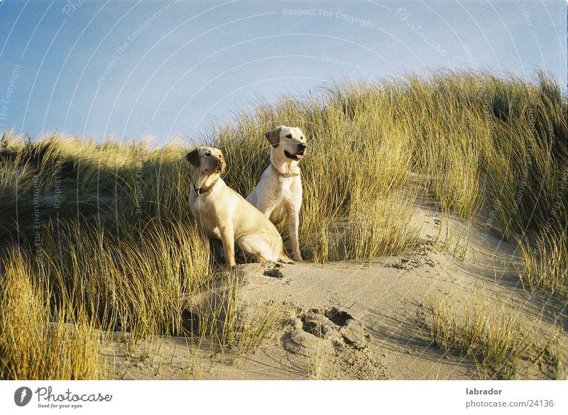 Labradors Strand Gras Hund Stranddüne Haustier Labrador