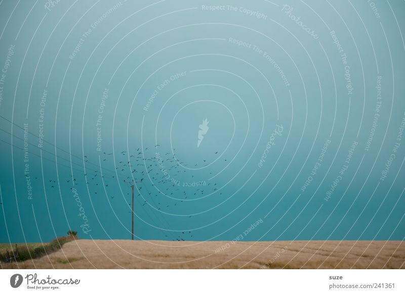 Der Schwarm Natur Himmel blau Einsamkeit Tier Freiheit Vogel Feld Umwelt fliegen Horizont Ernte Flucht Strommast Rabenvögel