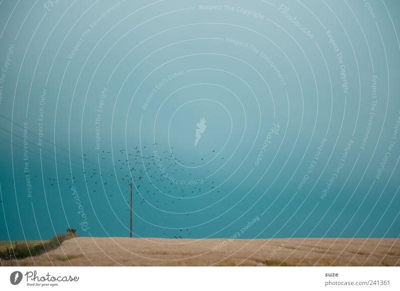 Der Schwarm Umwelt Natur Himmel Wolkenloser Himmel Feld Tier Vogel fliegen blau Einsamkeit Landleben Rabenvögel Strommast Ernte Horizont Vogelschwarm Flucht