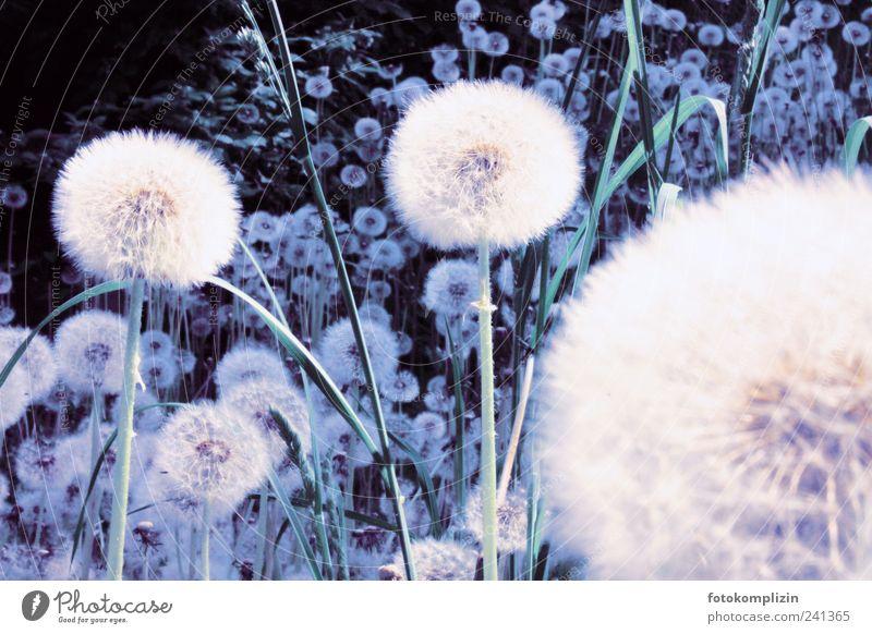 Löwenzahnwelt Pflanze Frühling Sommer Blüte Grünpflanze Wiese Fröhlichkeit natürlich wild weich blau weiß Lebensfreude Frühlingsgefühle Optimismus ruhig