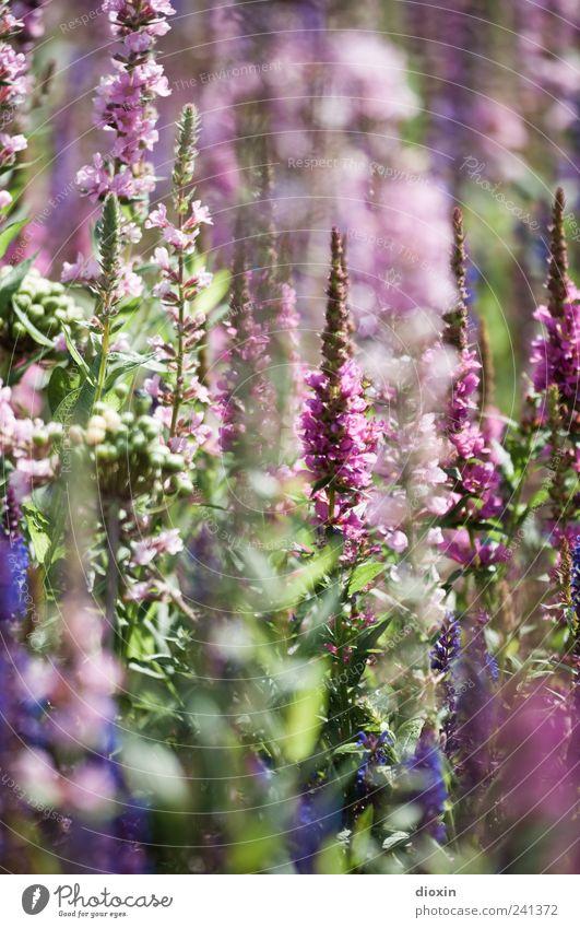 Lythrum salicaria [1] Umwelt Natur Pflanze Sommer Blume Blatt Blüte Wildpflanze gewöhnlicher blutweiderich Stauden Garten Park Blühend Wachstum Duft natürlich