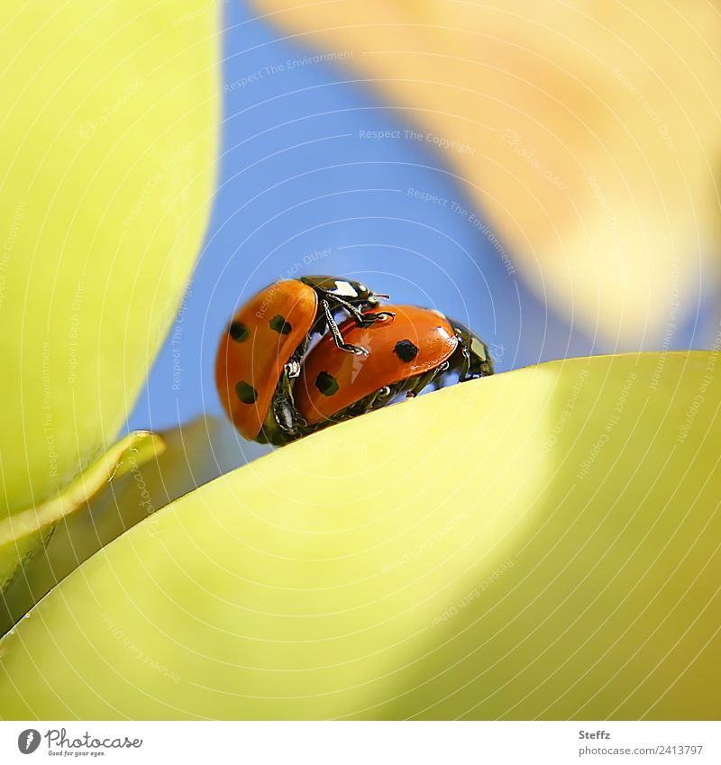 Glücksbringer privat Valentinstag Umwelt Natur Herbst Schönes Wetter Pflanze Quitte Quittenblatt Obstgarten Käfer Marienkäfer Insekt Tierpaar klein blau gelb