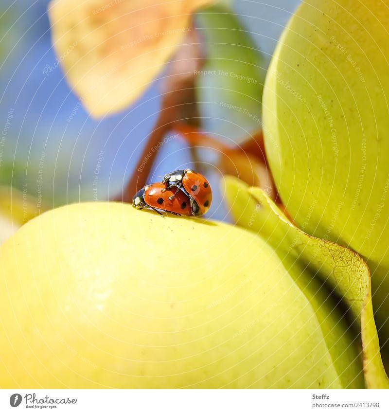 Glück² Natur Herbst Schönes Wetter Quitte Quittenblatt Garten Obstgarten Marienkäfer Käfer Insekt Tierpaar niedlich gelb rot Lebensfreude Romantik Fortpflanzung