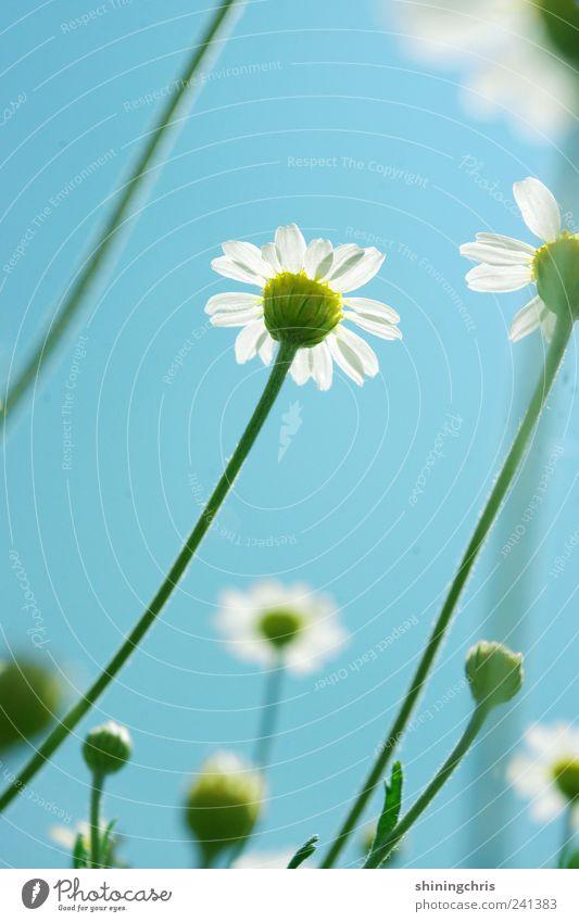 den himmel anmalen Himmel Natur Pflanze Sommer Blume ruhig Blüte Luft frei Hoffnung beobachten Schönes Wetter entdecken Lebensfreude Gänseblümchen