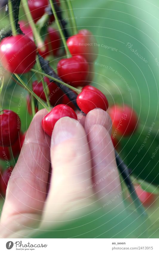 Kirschen pflücken Natur Sommer Pflanze Farbe grün Hand Baum rot Blatt Umwelt Frucht frisch authentisch süß Finger festhalten