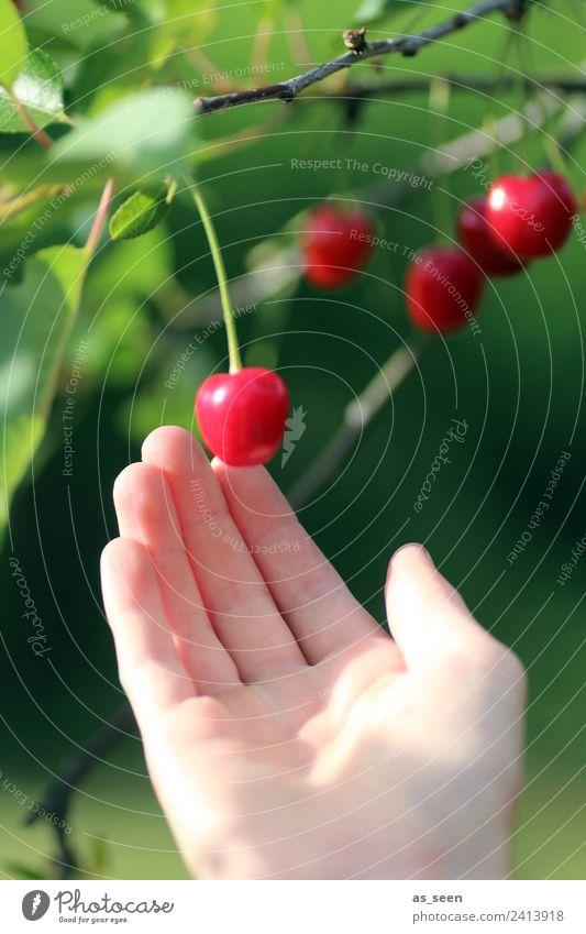 Kirschen ernten Lebensmittel Frucht Marmelade Ernährung Essen Saft Erntedankfest Hand Finger Umwelt Natur Pflanze Sommer Baum Blatt Kirschbaum Garten berühren