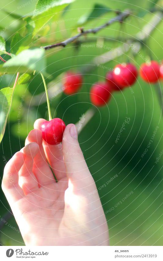 Kirschen pflücken Lebensmittel Frucht Marmelade Ernährung Essen trinken Kirschsaft Garten Erntedankfest Hand Finger Umwelt Natur Sommer Pflanze Baum Blatt