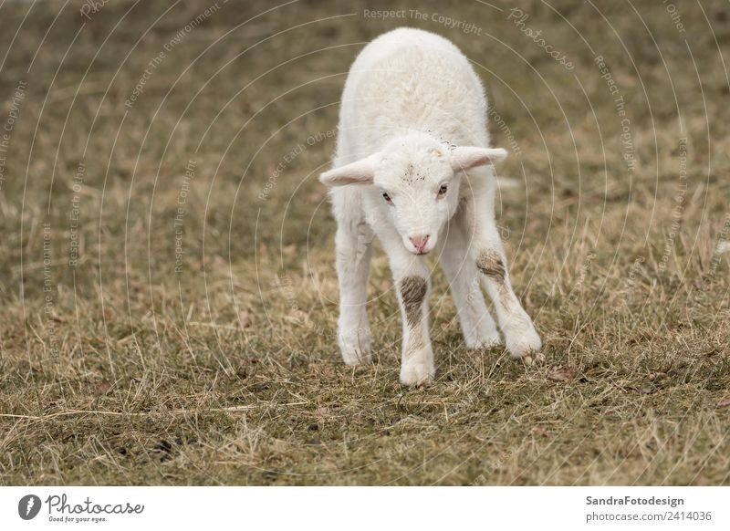 A little sheep is standing in the meadow Sommer Baby Natur Garten Park Wiese Feld Tier Nutztier 1 Tierjunges springen Tierliebe mammal lamb agriculture young